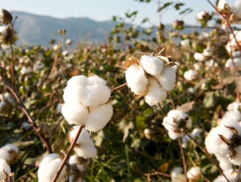 Baumwolle auf einem Baumwollfeld. Diese Samenhaare sind die Grundlage für die Garnherstellung.