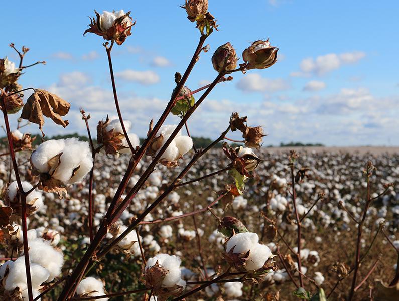 Bio-Baumwolle, Baumwolle, Bio-Kleidung, Nachhaltige Baumwolle, Ökologische Baumwolle