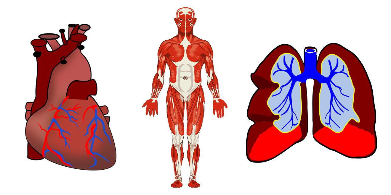 Nährstoffe für die Muskeln, Muskeln, Nährstoffe, Sport, Ernährung, Muskelapaprat