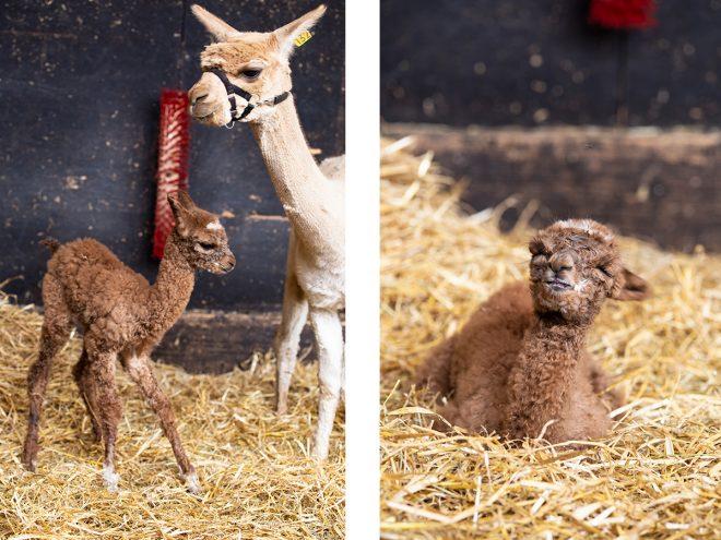 Alpaka. Alpakahof Zollernalb, Alpaka Zucht, Alpakas, Alpaka Wolle, Cria, Alpaka Baby, Fohlen, Alpaka Fohlen