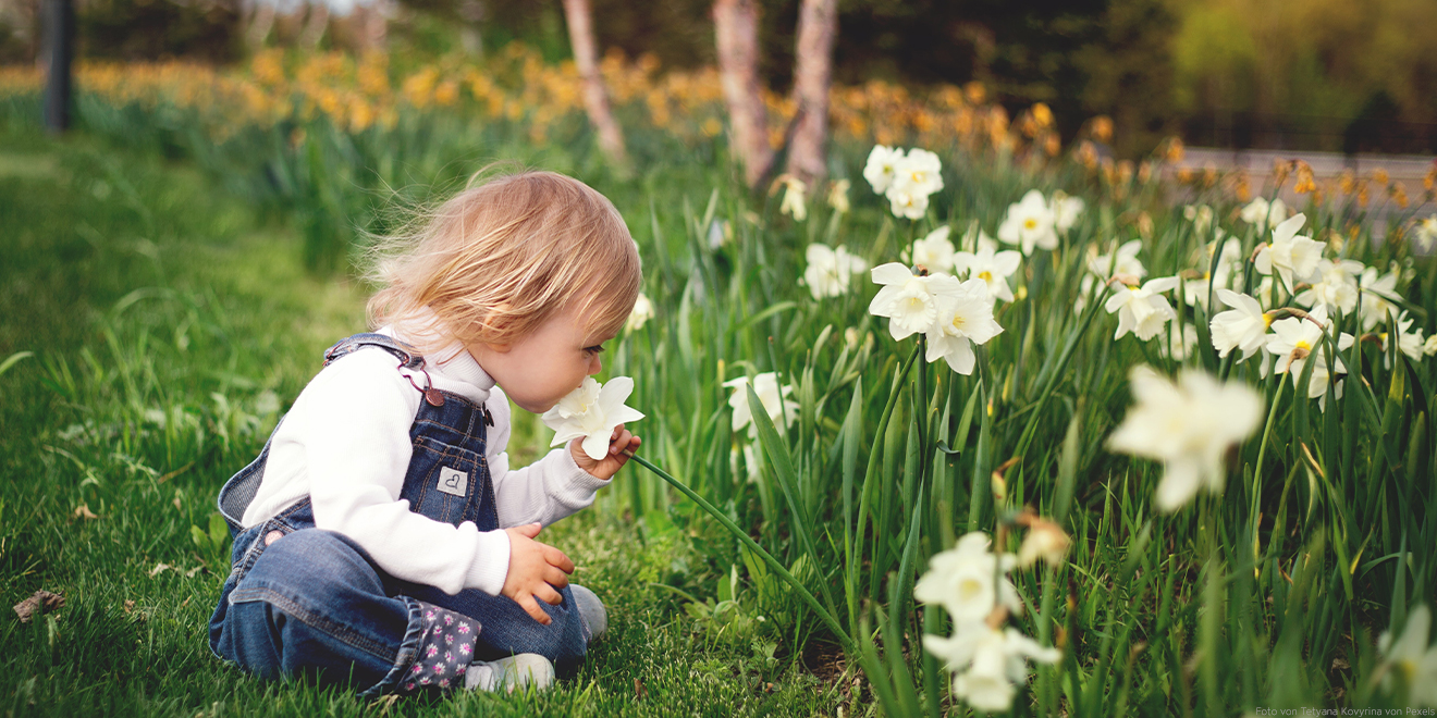 Kind schnuppert im Grünen an einer Osterglocke. Es lernt zahm zur Natur zu sein und sie zu schätzen. Meist sind die Eltern für einen grünen Daumen verantwortlich.