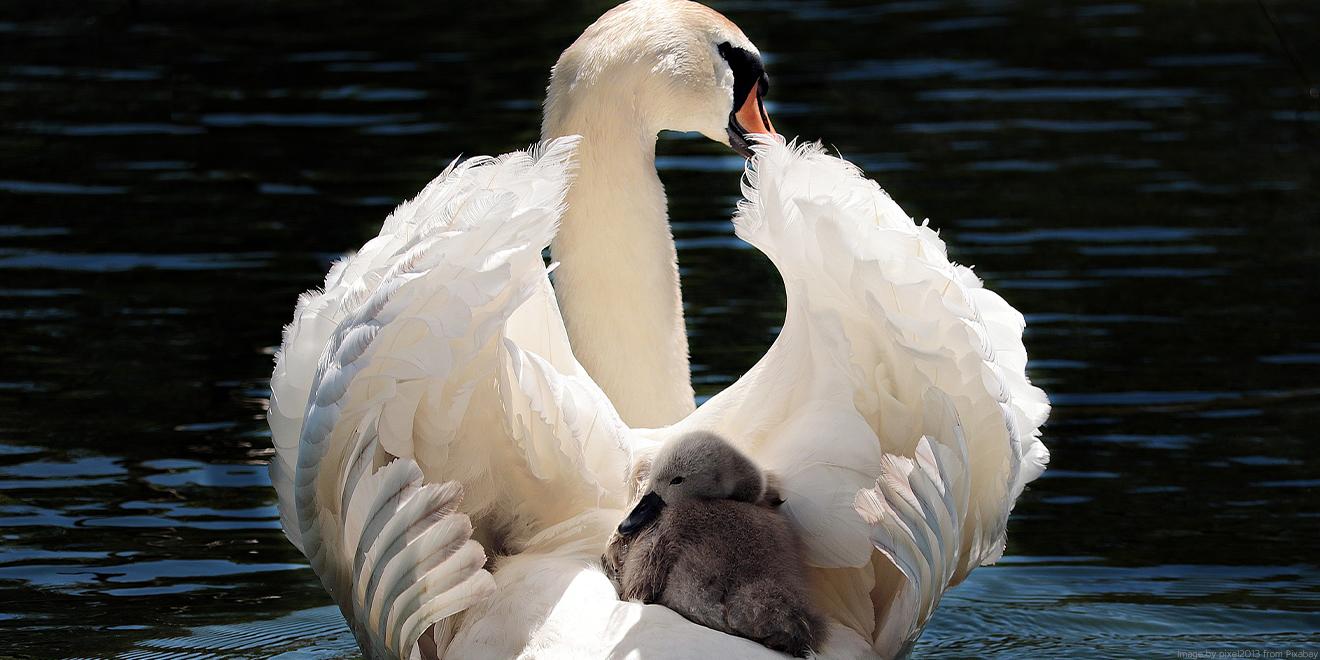 Schwanmama beschützt ihr kleines Baby indem sie es auf dem Rücken trägt.