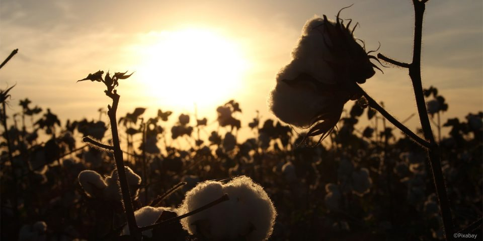 Nachhaltige Baumwolle aus kontrolliert biologischem Anbau für TRIGEMA in Griechenland