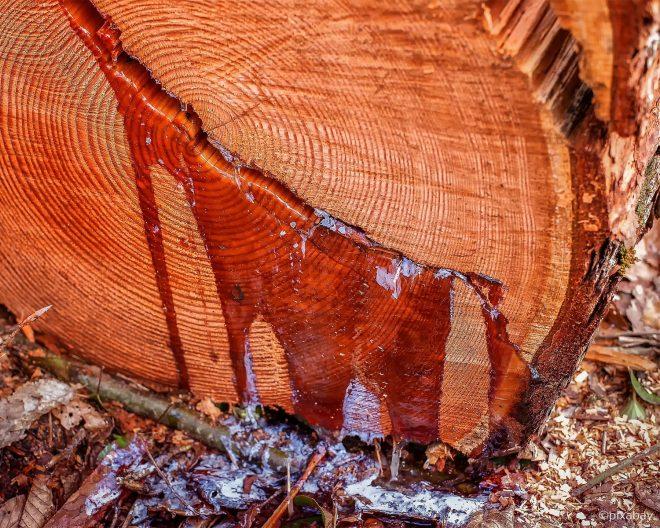 Baumharz tritt aus einem Baumstumpf aus