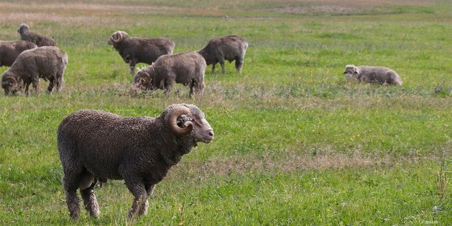 Merinoschafe auf der Weide - Die Wolle der Schafe ist die feinste der Welt. Diese Kleidung richtig pflegen, ist nicht einfach.