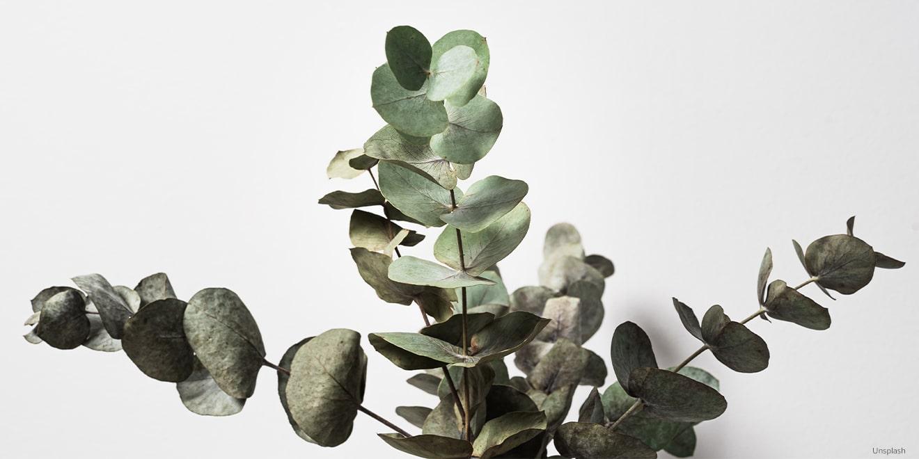 Das ist Eukalyptus. Auch er wird häufig für die Herstellung von Lyocell genutzt.